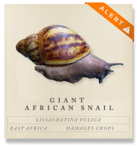 Giant African Land Snail - Lissachatina fulica