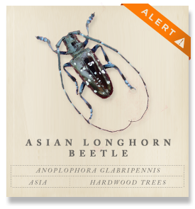 Asian Longhorned Beetle - Anoplophora glabripennis