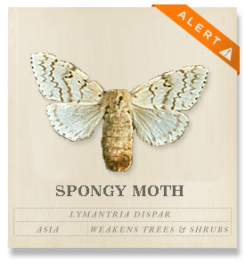 Gypsy Moth - Lymantria dispar