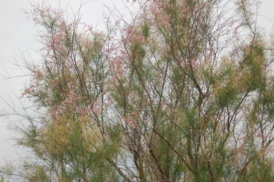 asian salt cedar invasive species